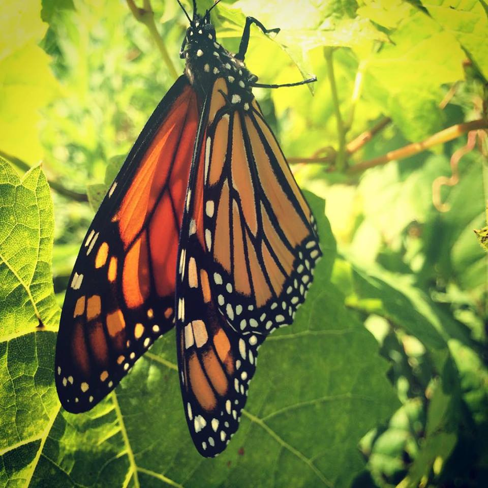 Cheryl Costello- Monarch Butterfly